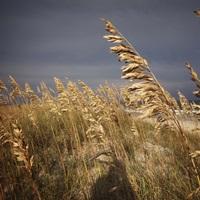 Dune grasses in Cape Hatteras in North Carolina