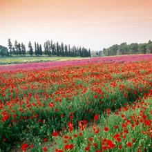 Farming poppies, Israel