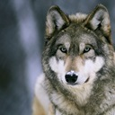 gray-wolf-at-the-international-wolf-center-ely-minnesota,ng513195.jpg