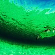 Green sea turtle, Carribean Sea