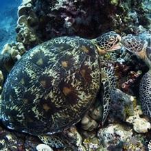 Green sea turtles, Chelonia mydas, displaying dominating behavior