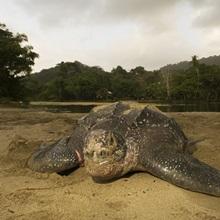 Leatherback Turtle, Dermochelys coriacea, nesting after sunrise