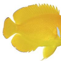 Lemonpeel Angelfish, close up against a white background