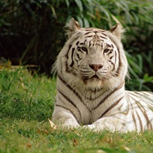 Melanistic White Bengal Tiger