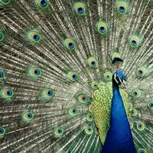 Plumage of an Indian peacock, Queensland, Australia