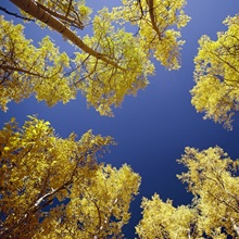 Sky view through aspen trees, Telluride, Colorado