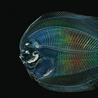 This larval flounder is hidden from predators by transparency