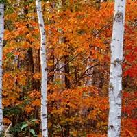 Leaves of Orange