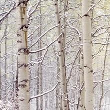 Autumn Aspens With Snow CO