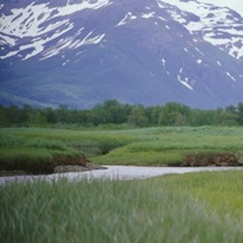Grizzly bear (Ursus arctos horribilis) grazing in a field, Kukak Bay, Katmai National Park, Alaska