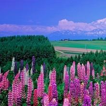 Lupines Hokkaido Japan