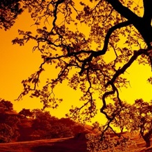 Silhouette of Coast Live Oak trees (Quercus agrifolia), California