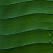 Water drops on a palm leaf, Hawaii
