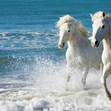 Camargue Horses running on the beach, South of France, France