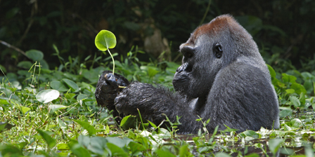 A silverback soaks in a swamp for hours while munching he...