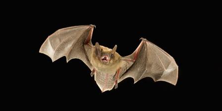 Little Brown Bat (Myotis occultus) flying at night, Cocon...