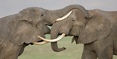 Two African elephants fighting in a field, Ngorongoro Cra...