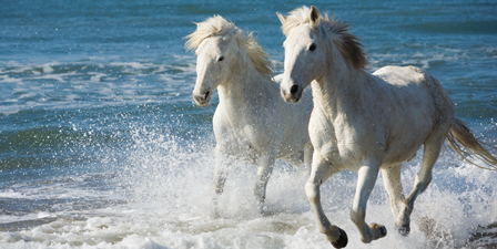 Camargue Horses running on the beach, South of France, Fr...