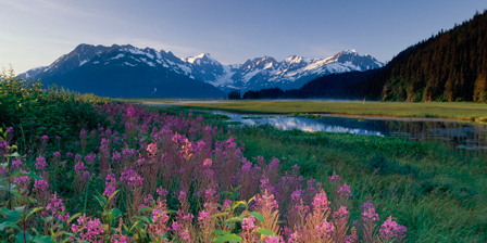 Fireweed Along Turnagain Arm Chugach Mountains SC AK