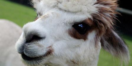 A close up portrait of an alpaca