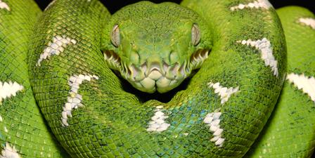 Emerald Tree Boa, Amazon, Ecuador