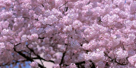 Washington DC, Close-up of cherry blossoms