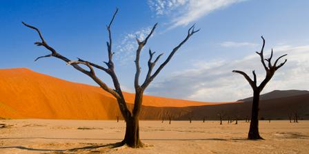 Acacia trees near red sand dunes, Sossusvlei, Namibia