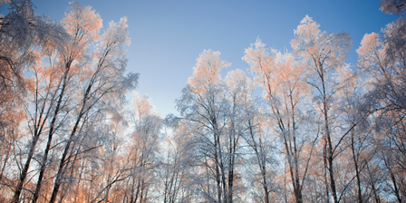 Sunset light shining through hoarfrost covered birch tree...
