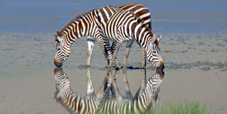 Two zebras drinking water from a lake, Ngorongoro Conserv...