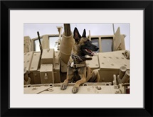 A military working dog sits on a US Army M2A3 Bradley Fighting Vehicle