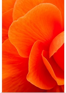 Macro view of an orange begonia flower during Summer