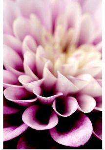 Purple Dahlia Detail