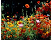 California Golden Poppies (Eschscholzia californica) with Iceland Poppies (Papaver nudicaule) and Corn Poppies (Papaver rhoeas) in a field, Fidalgo Island, Washington State