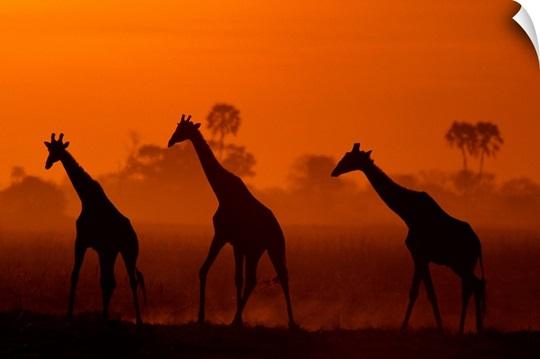 Giraffes at twilight, Africa
