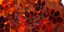 Fall Leaves CO