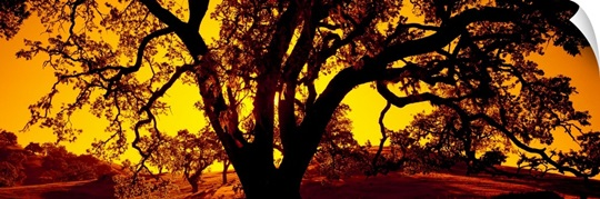 Silhouette of Coast Live Oak trees (Quercus agrifolia), California