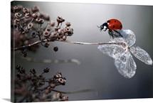 Ladybird On Hydrangea