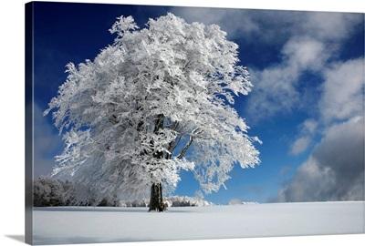 White Windbuche in Black Forest