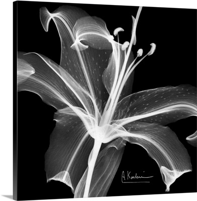 Asiatic Lily x-ray floral photograph