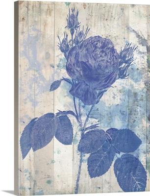 Blue Rose in my Garden