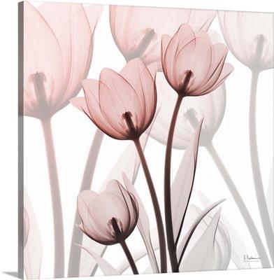 Blush Luster Tulips