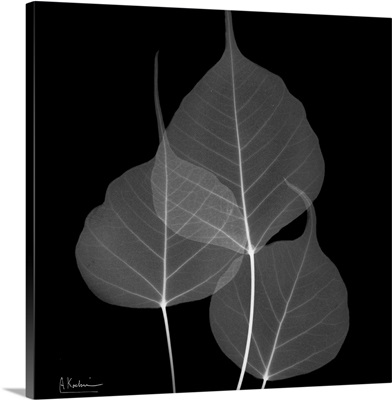 Bo Tree Leaf X-Ray Photograph