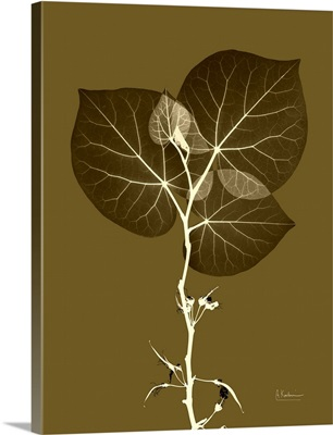 Chinese Red Bud X-Ray Photograph