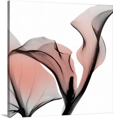 Dawned Calla Lily