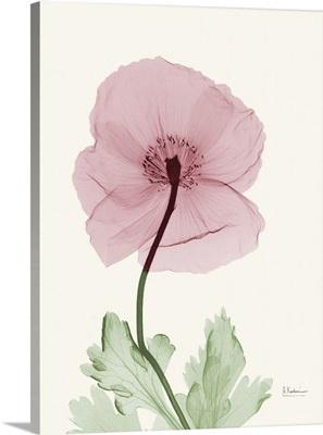 Dazzling Poppy 1