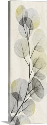 Eucalyptus Sunshine