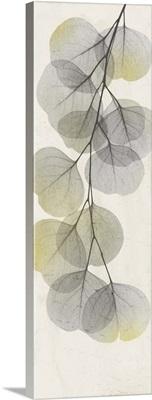 Eucalyptus Sunshine 2