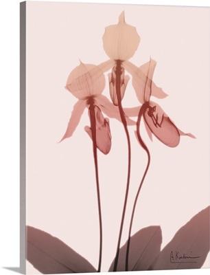 Furiosa Orchid
