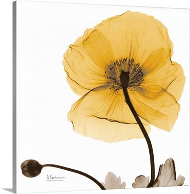 Iceland Poppy Harvest x-ray photography