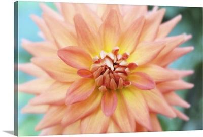 Orange Star Dahlia